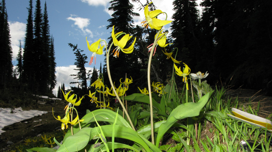 Close-up colour photograph of yellow slide lilies growing in mountain terrain in summer.
