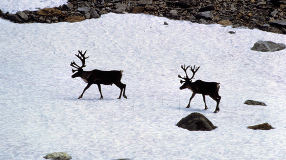 Two caribou crossing snow patch left from winter slides