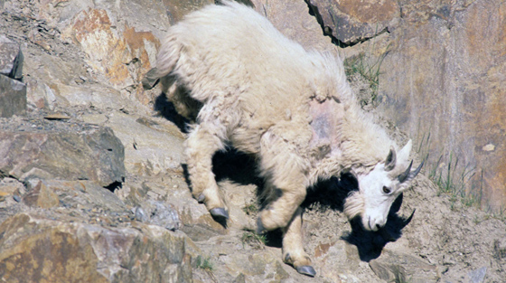 Colour close-up photograph of mountain goat on rocky cliff.